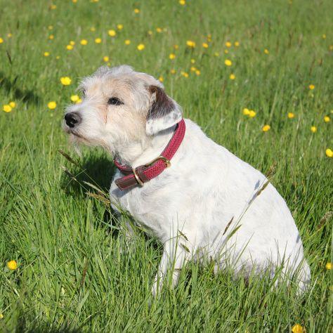 WeatherBeeta Leather Plaited Dog Collar