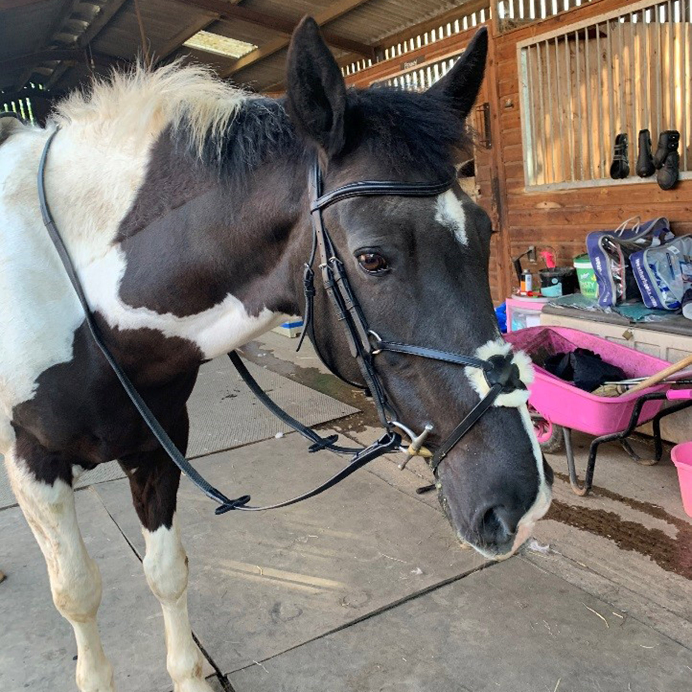 Product Review: Collegiate Mono Crown Padded bridle