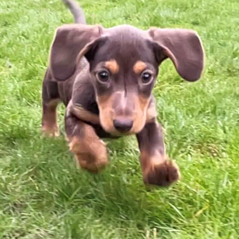 weatherbeeta dog collar winnie the dachshund